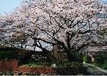 坂本満開の桜